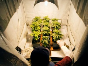 marijuana-grower